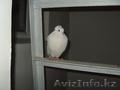 Нашелся голубь белоснежный