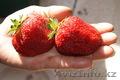 Саженцы садовой крупноплодной земляники