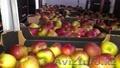OOO OMEGA Предлагает прямые поставки яблок  из польши