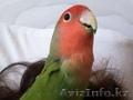 Попугай. Дарю попугая неразлучника хорошим людям