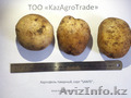 Картофель оптом от 25 тенге/кг. Павлодарской области